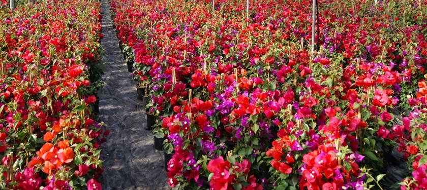 Bouganville bicolore cqplants cultivating quality plants for Bouganville in vaso