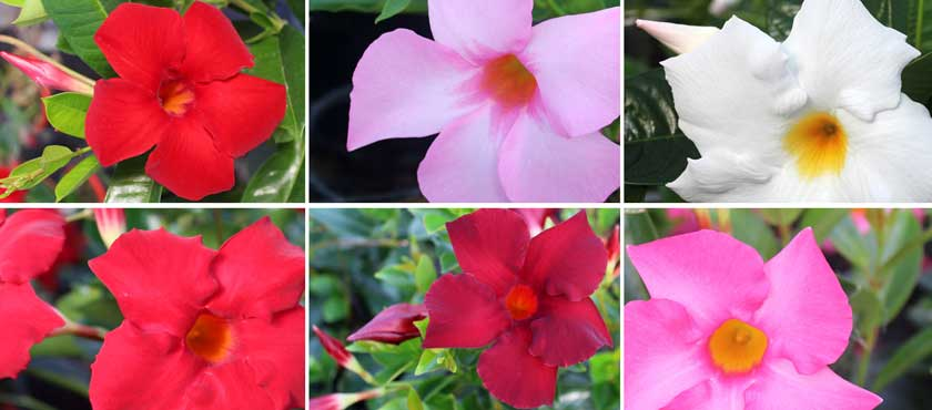 New varieties of Dipladenia