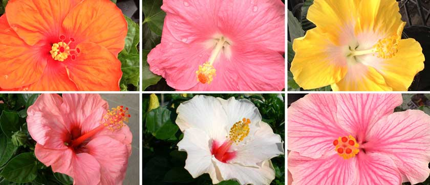 New varieties of hibiscus Yupla