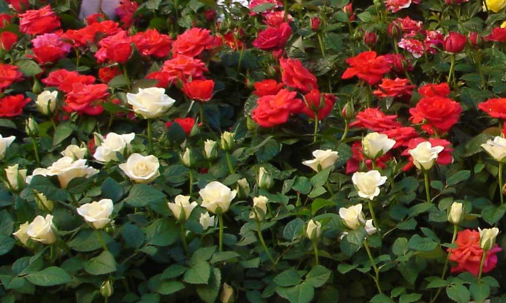 Rosal cqplants cultivating quality plants for Plantas y arbustos de exterior