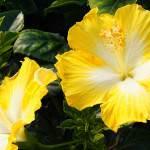 Hibiscus rosasinensis