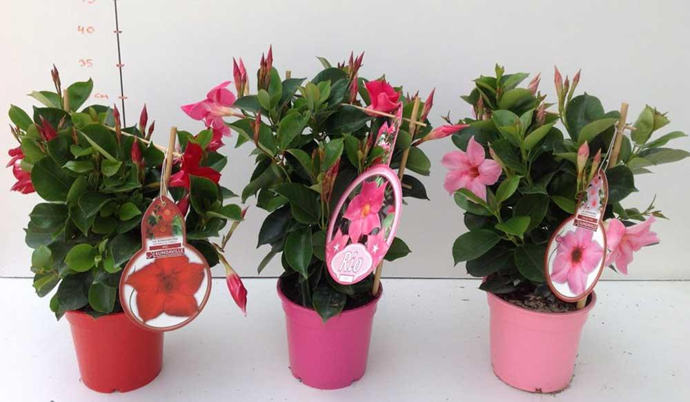 dipladenia cqplants cultivating quality plants. Black Bedroom Furniture Sets. Home Design Ideas