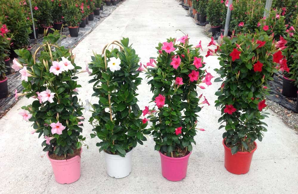 dipladenia cqplants cultivating quality plants. Black Bedroom Furniture Sets. Home Design Ideas