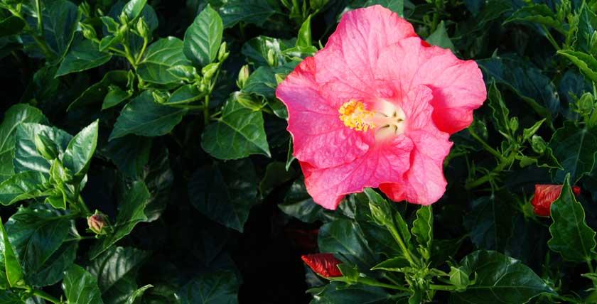 New varieties of Yupla Hibiscus rosa-sinensis
