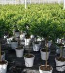 Polygala myrtifolia