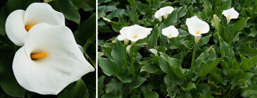 Zantedeschia White